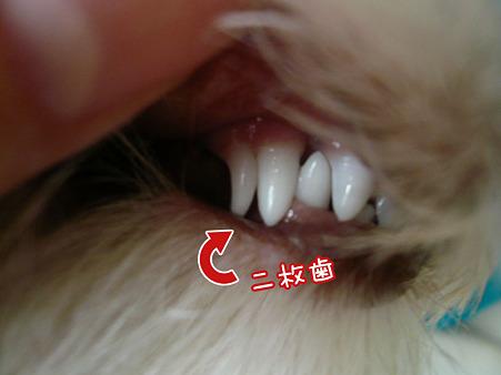 二枚歯 3