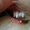 写真: 二枚歯 3