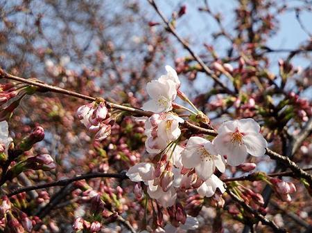 2011.03.30 目黒川の桜