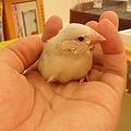 写真: 文鳥シナモンのヒナ、ちょう...