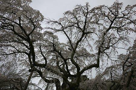 2010.04.01 小田原 長興山 枝垂桜-2