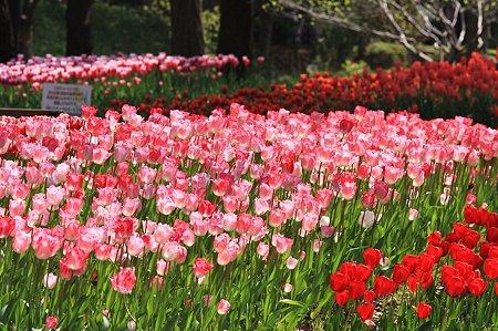 2010.04.19 横浜公園 チューリップ祭り-1