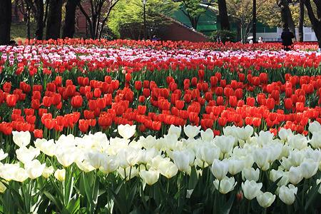 2010.04.19 横浜公園 チューリップ祭り-9