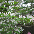 写真: 2010.04.30 祇園 ハナミズキ