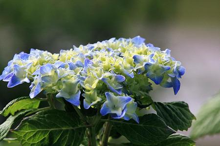 2010.05.25 和泉川 紫陽花