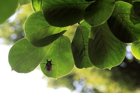 2010.09.01 和泉川 コブシの葉の下