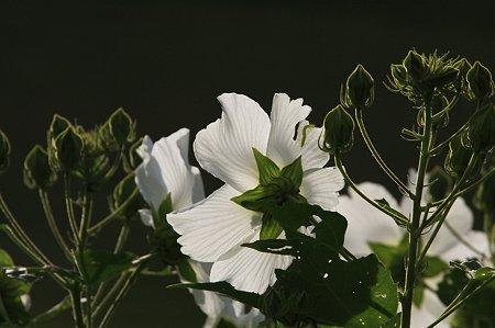2010.09.07 和泉川 フヨウ