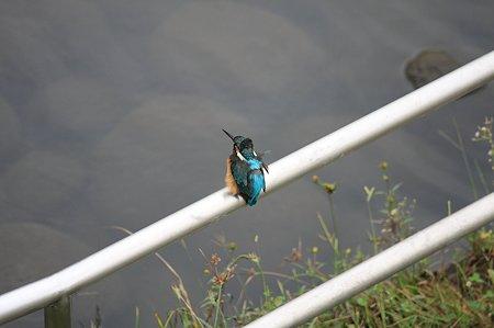 2010.10.14 和泉川 カワセミ 微風