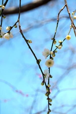 2011.02.22 大池公園 ウメ 開花