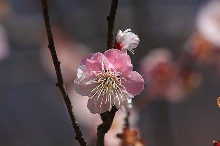 2011.03.19 大池公園 梅 紅白