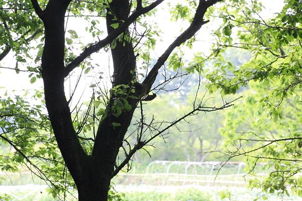 写真: 2011.05.13 追分市民の森 コゲラの居る風景