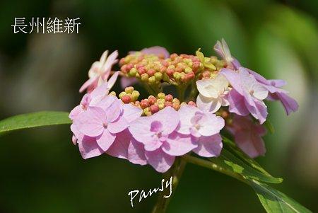 長州維新・・光則寺の山アジサイ 20