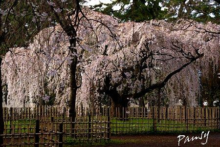 花滝。。しだれ桜・・2 京都御苑 2010