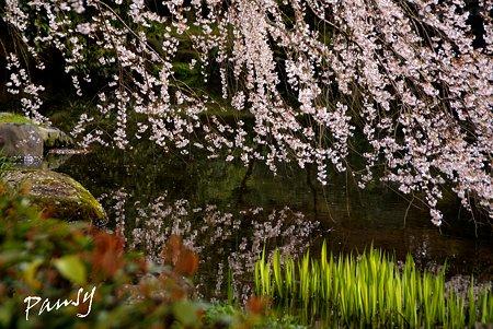 桜咲く池・・ しだれ桜・・6 京都御苑 2010