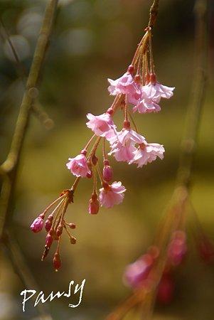 咲き始め・・
