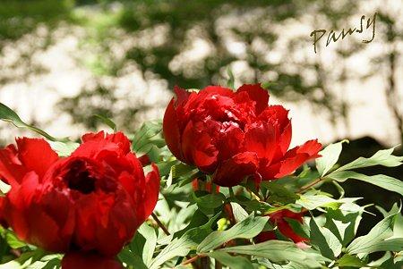 赤い牡丹・・2