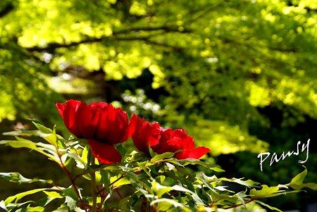 赤い牡丹・・3