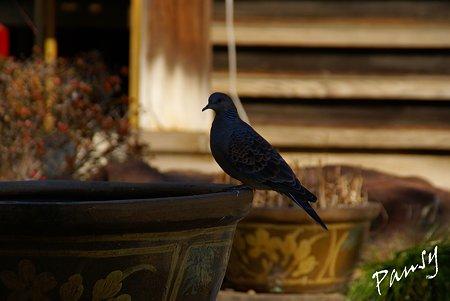 寺院の鳩・・池上さんぽ~30