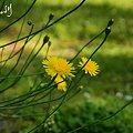 Photos: 黄色の花・・
