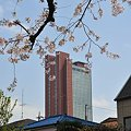 Photos: 桜とニンジン1