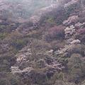 写真: 朝靄に包まれる山桜群