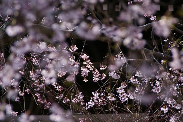 Photos: 輝く枝垂れ桜、本覚寺!(100327)