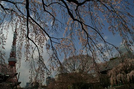 しだれ桜、東京タワー!(100326)
