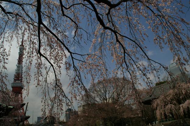 Photos: しだれ桜、東京タワー!(100326)
