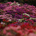 Photos: ツツジの公園!(10418)