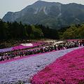 Photos: 芝桜のジュータン3!(100504)