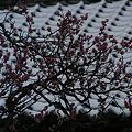Photos: 紅梅と雪!(110212)