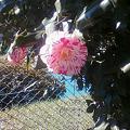 写真: 斑模様の椿の花@まむし谷テ...