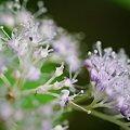 Photos: 山に咲く、アジサイの花