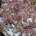 写真: 同じく八重桜
