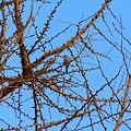 Photos: 冬枯れの銀杏の大樹に~真冬のヒヨドリ~