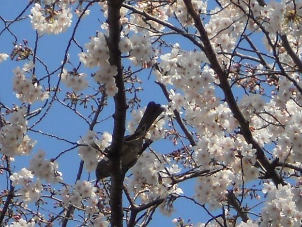 桜の蜜を吸う鳥