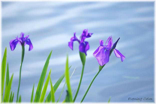 Photos: 杜若_0003