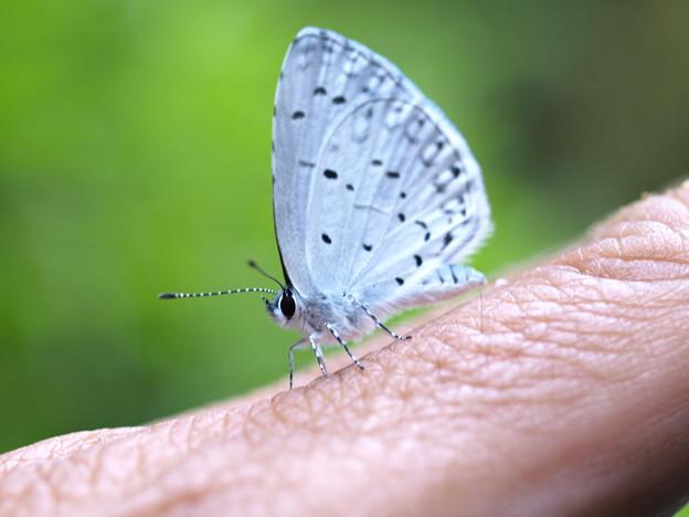 きみの指にもシジミ蝶