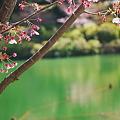 桜と緑の池