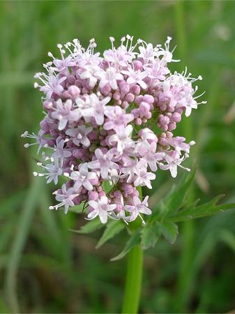 平尾台の植物~春(2)カノコソウ(鹿の子草)