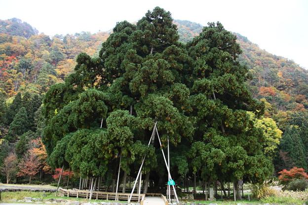 吉野工芸の里 杉の巨木「御佛供杉」? 国指定天然記念物