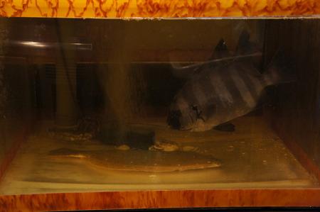 シンクロする石鯛