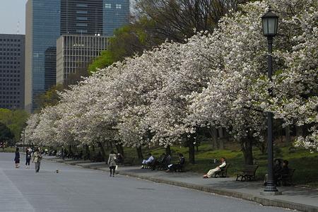 八重の桜並木