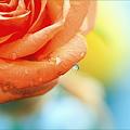Photos: 薔薇の涙