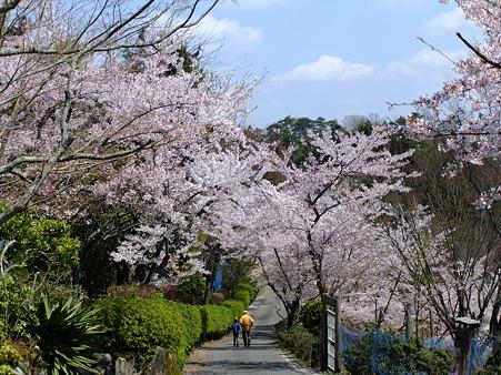 山頂付近の桜2