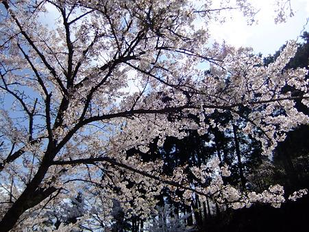 宴会会場の桜