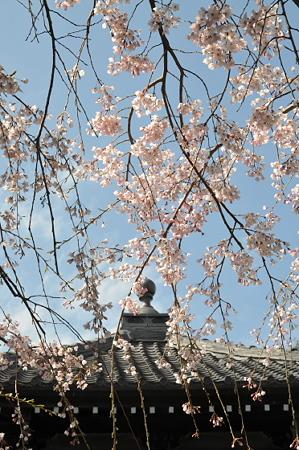 本覚寺のしだれ桜 05