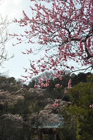光則寺前の桃