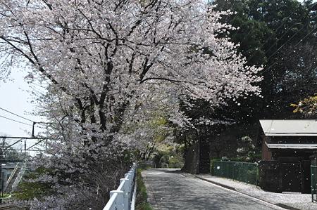 肥田牧場前の桜 01