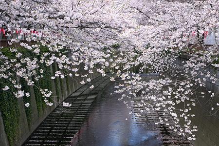 2010年目黒川・桜03